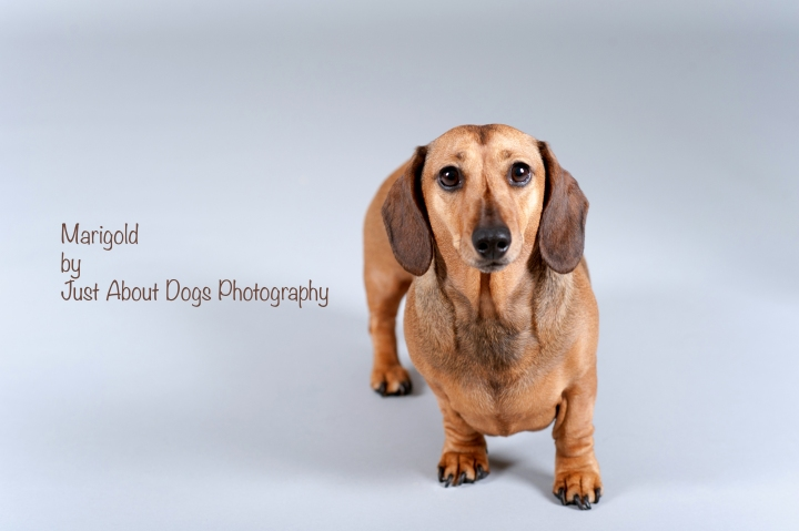 Marigold by Just About Dogs Photography
