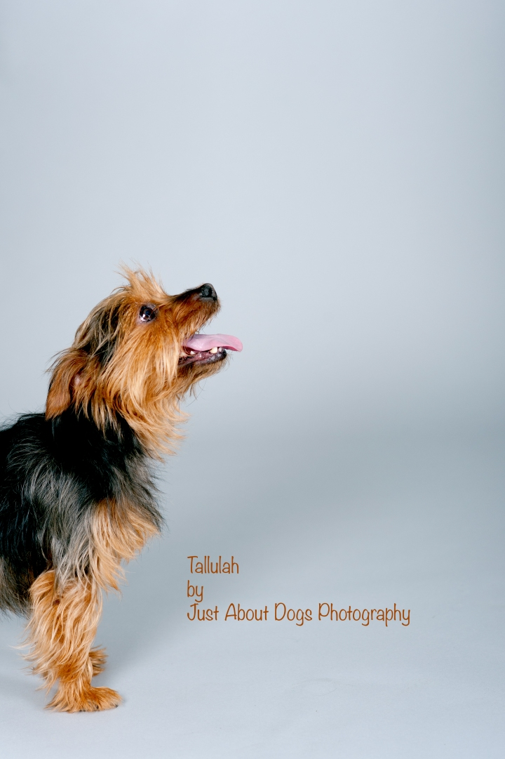 Tallulah by Just About Dogs Photography