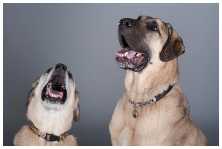 Kurt, Kara and Tracy - Anatolian Shepherd dogs by Just About Dogs Photography 03