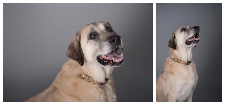 Kurt, Kara and Tracy - Anatolian Shepherd dogs by Just About Dogs Photography 04
