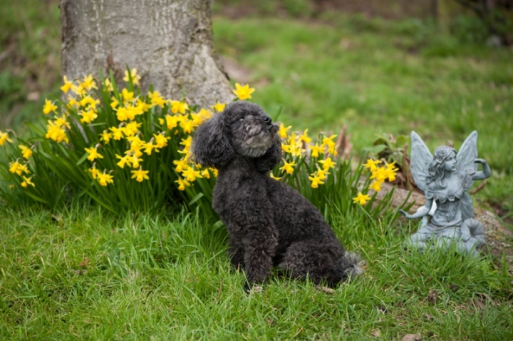 Teddy the toy poodle by Just About Dogs Photography 01