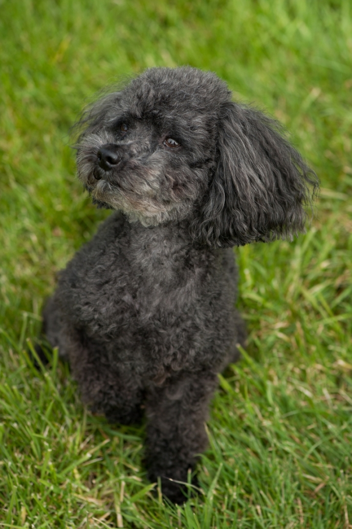 Teddy the toy poodle by Just About Dogs Photography 02