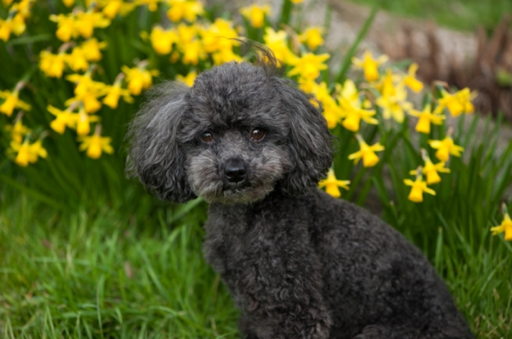 Teddy the toy poodle by Just About Dogs Photography 03