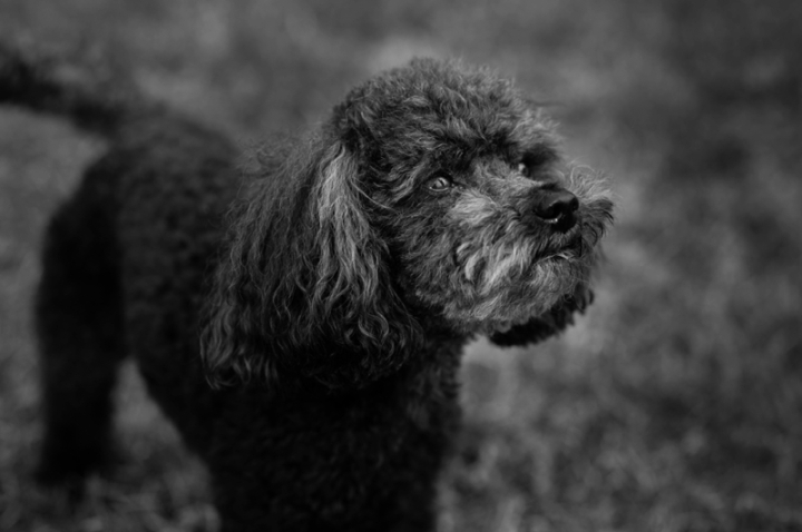 Teddy the toy poodle by Just About Dogs Photography 04