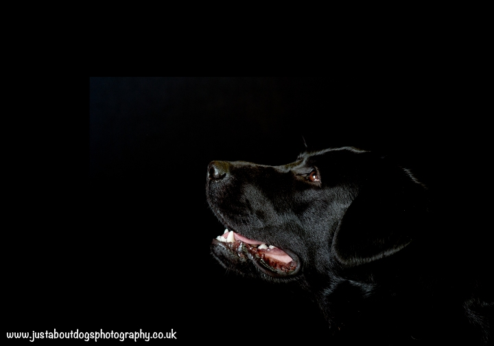 Llewellyn by Just About Dogs Photography 001